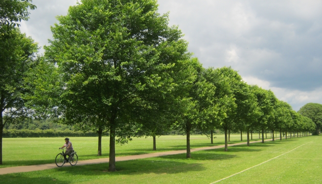 Ulmus 'New Horizon' in Pontcanna Fields, Cardiff, photo © Hilliers